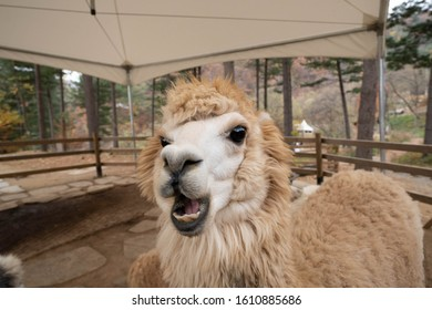 Cute expression of white alpaca. Close up face of llama showing its teeth at the farm.