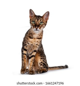 Cute F6 Savannah cat sitting up straight facing front. Looking at camera with green eyes and cute head tilt. Isolated on white background. Tail beside body.