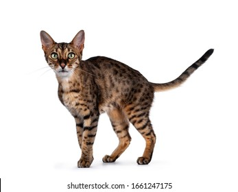 Cute F6 Savannah cat standing / walking side ways. Looking at camera with green eyes and tail fierce in air. Isolated on white background.