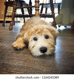 Cute face of a golden colored Irish soft coated Wheaten Terrier puppy laying on a wooden kitchen floor with copy space.