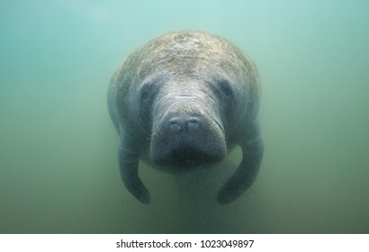 Cute Face of a Manatee Underwater