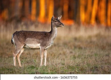 Cute fallow deer, dama dama, doe looking away on a meadow with dry grass at autumnal sunset. Wild mammal with brown fur and white spots observing surrounding in nature with copy space.