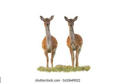 Cute fallow deer, dama dama, does watching camera isolated on white background. Two wild animals from front low angle view in nature cut out on blank.