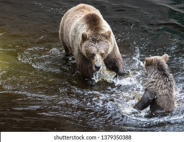 Cute family of brown bear mother bear and its baby playing in the dark water. Ursus arctos beringianus. Kamchatka bear.