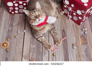 Cute family cat lying with Christmas gifts
