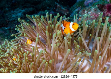 A cute family of False Clownfish (Amphiprion ocellaris) in their host anemone on a tropical coral reef