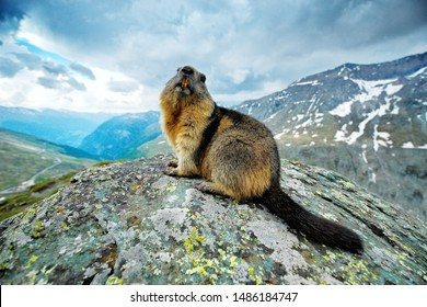 Cute fat animal Marmot, sitting on the stone with nature rock mountain habitat, Alp, Austria. Wildlife scene from wild nature. Funny image, detail of Marmot. Wide angle with habitat.