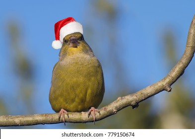 Cute And Fat Greenfinch Bird Angry Birds Style With Santa Claus Hat For Christmas