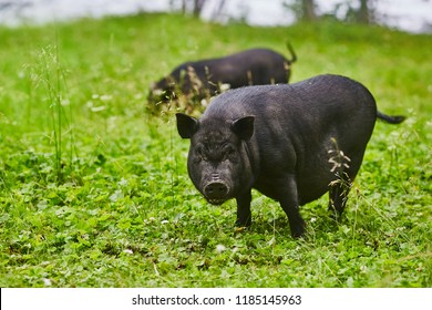 Cute fat pot-bellied pigs on free meadow of private farm