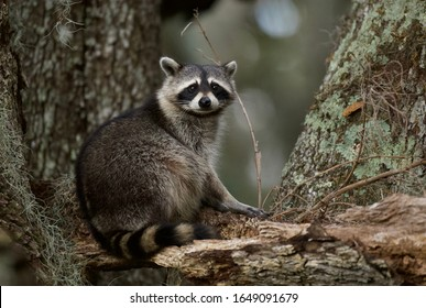 A cute, fat raccoon climbing in a tree in central Florida, USA.