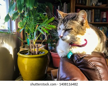 Cute feline tabby cat sleeping on the top of a leather chair in a home office. She is wearing a collar with EMF protector to protect from effects of wifi radiation.
