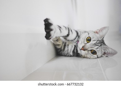 A cute female American Shorthair cat try to reach the camera.