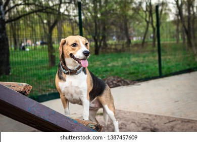 Cute female beagle dog on a training ground at spring time.