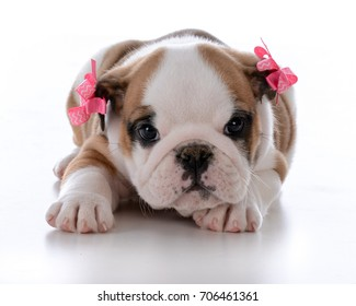 cute female bulldog puppy wearing bows on white background