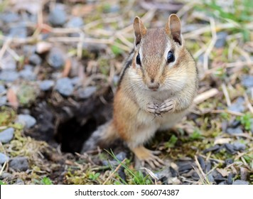Cute female chipmunk posing outside of her burrow