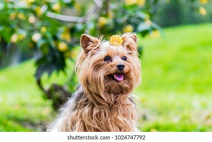 Cute female dog of breed Yorkshire Terrier decorated with a yellow flower on his head