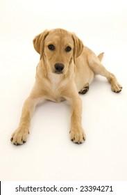 Cute Female Labrador Pup