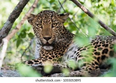 Cute female leopard in Yala national park, Sri-Lanka