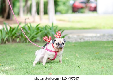 Cute female pug dog peeing on a field in the park with costume Reindeer ear for celebrate the christmas 's eve.