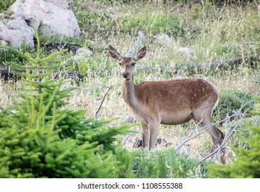 Cute female red deer with tongue out of mouth.