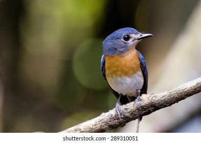 A cute female Tickell's Blue Flycatcher perching with green background
