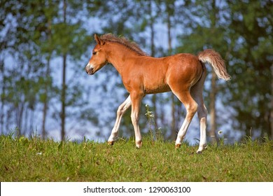 Cute few week old Welsh Pony Colt walking on meadow with lush green trees in background.