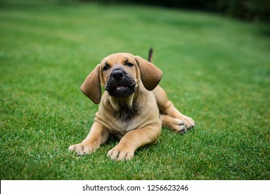 Cute Fila Brasileiro (Brazilian Mastiff) puppy lying on grass