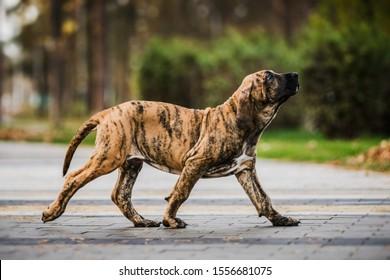 Cute Fila Brasileiro (Brazilian Mastiff) brindle color puppy running ambling gait, amble