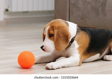 Cute five month old beagle puppy playing with spiky ball dog toy indoor