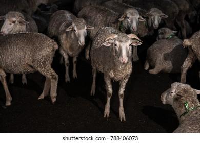 cute flock of sheep