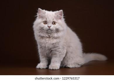 Cute fluffy british kitten on a brown background