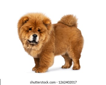 Cute fluffy Chow Chow pup dog, standing side ways looking down. Isolated on a white background
