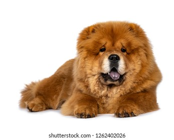 Cute fluffy Chow Chow pup dog, laying down facing front looking at camera. Isolated on a white background. Mouth open, showing blue tongue.