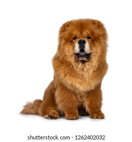 Cute fluffy Chow Chow pup dog, sitting straight up facing front looking at camera. Isolated on a white background. Mouth open, showing blue tongue.
