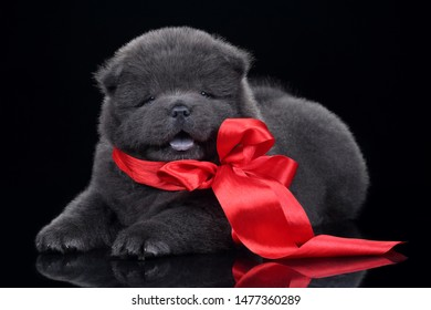 Cute fluffy chow chow puppy with a red bow on a black background