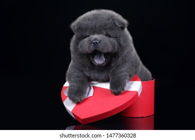 Cute fluffy chow chow puppy sitting in a red box