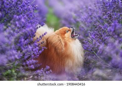 Cute fluffy dog in a lavender field. Pomeranian.