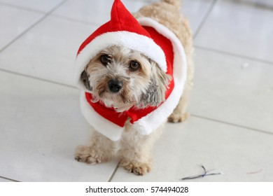 Cute Fluffy Dog Wearing Santa Suit In The House