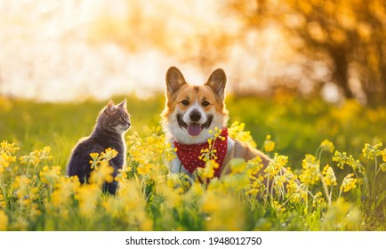 cute fluffy friends a corgi dog and a tabby cat sit together in a sunny spring meadow - Shutterstock ID 1948012750
