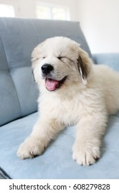cute and fluffy Great Pyrenees puppy smiling on a blue couch with a clean background