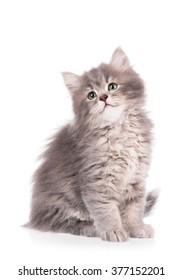 Cute fluffy grey kitten isolated over white background