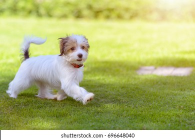 A cute, fluffy, happy puppy running on vibrant green grass in the summer time.