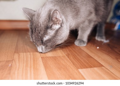 cute fluffy home gray cat walks in the kitchen. requests food and is witnessing for their master. breed: Russian blue cat