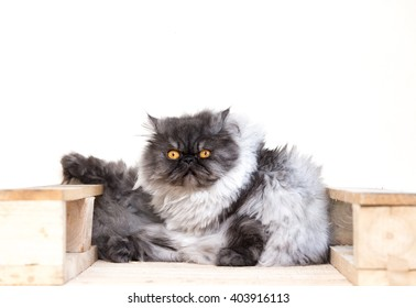 cute fluffy kitten, beautiful Persian grey cat, exotic cat resting on a wooden table