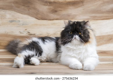 cute fluffy kitten, striped, thick, beautiful Persian cat, exotic cat On a wooden table