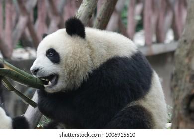 Cute Fluffy Little Panda with Green Bamboo Stick