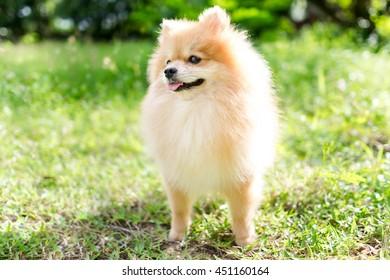 cute fluffy Pomeranian dog in a spring park
