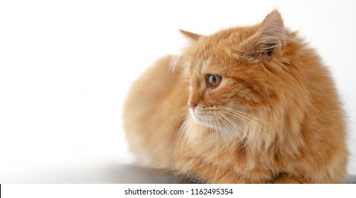 Cute fluffy red- orange cat white isolated background,Very cute cat with bright gentle eyes