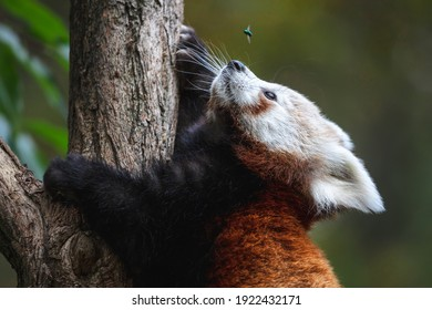 Cute fluffy red panda cub looking at the fly. Young lesser panda or firefox (Ailurus fulgens) climbing a tree.