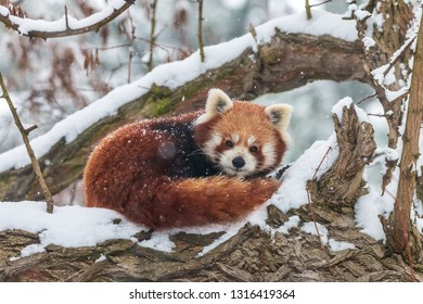 Cute fluffy red panda in winter forest. Curled up lesser panda or firefox (Ailurus fulgens) resting on snow-covered tree.